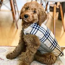goldendoodle puppy virginia debs doodles goldendoodle puppy reviews and testimonials