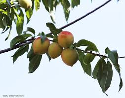 What Fruit Trees Grow In Texas - dallas fruit and vegetable grower