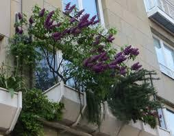 flieder balkon klein und bemerkenswert fliedertraum