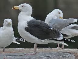 chambres d h es 精e en mer johan d haenen vogels birds grote mantelmeeuw