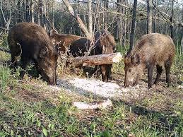 Michigan wildlife images Wildlife officials seeking help with wild boars in michigan wnmu fm jpg