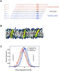 transmembrane helix dynamics of bacterial chemoreceptors supports