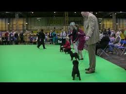 affenpinscher crufts 2014 affenpinscher video funnydog tv