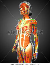 Female Muscles Anatomy 3d Rendered Illustration Female Muscular System Stock Illustration