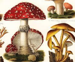 Are Backyard Mushrooms Poisonous Best 25 Poisonous Mushrooms Ideas On Pinterest Fungi Mushroom