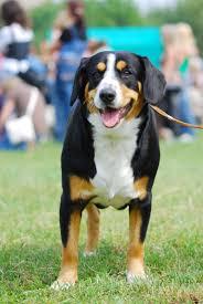 appenzeller sennenhund dog breeds with picture top dogs breeds