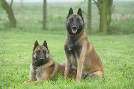 belgian shepherd malinois temperament fci group 1 belgian shepherd dog royal canin