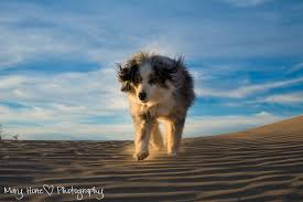 australian shepherd zoomies a fun evening at the sand dunes tales from the backroad