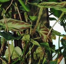 What To Use For Climbing Plants - philodendron verrucosum l mathieu ex schott philodendron