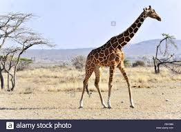 reticulated giraffe in northern kenya stock photo royalty free
