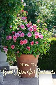 24 best vines for containers plants gardens and rose