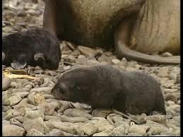 Georgia wild animals images Antarctic fur seal moving south georgia sd stock video 452 jpg