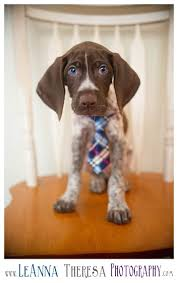Do All Short Haired Dogs Shed by Best 25 Short Haired Dogs Ideas On Pinterest Pointer Puppies