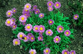 Plants Blooming Grow Perennial Aster Flower Plants For Fall Blooms