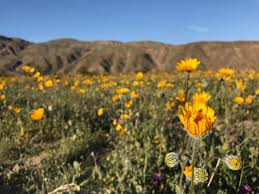 anza borrego super bloom photos wildflower super bloom explodes across the anza borrego