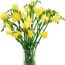 freesia flower bulk flowers yellow freesia