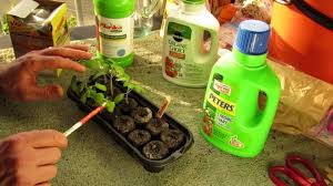 when to first fertilize your tomato seedlings with liquid