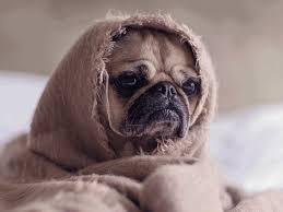 Sad Pug Meme - list of synonyms and antonyms of the word sad pug