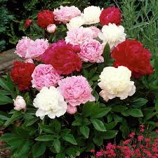 peonies for sale peony roots for sale buy in bulk save