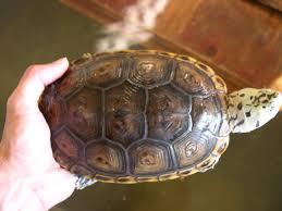 Texas Map Turtle Diamondback Terrapin World Super Texan