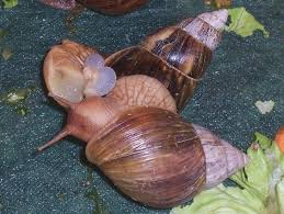 breeding chapter 7 comprehensive snail care guide