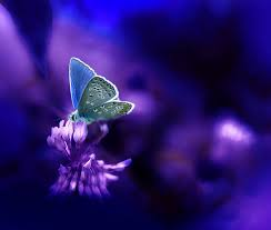 butterflies images beautiful butterfly wallpaper and background