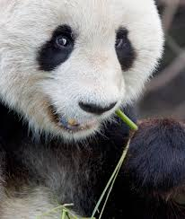 how do giant pandas survive on bamboo diets