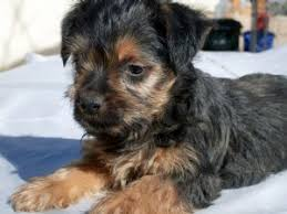 australian shepherd yorkie mix for sale silky terrier puppies for sale