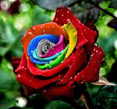 Rose Flower Images Mystic Rainbow Rose Flower Seeds Jpg