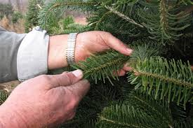 Pacific Northwest Christmas Tree Association - a national problem u0027 root rot attacking christmas trees nbc news