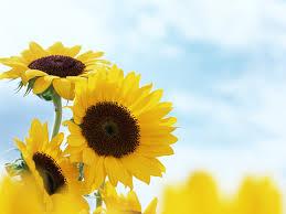 foto wallpaper bunga matahari wallpaper foto dan gambar bunga cantik untuk laptop wallpaper