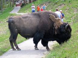 Massachusetts wild animals images Massachusetts man gored by bison at yellowstone petersen 39 s hunting jpg