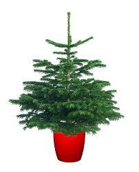 potgrown nordman fir real christmas tree 80 100cm 2 6 3 3ft