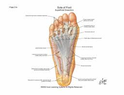 Foot Anatomy Nerves Human Foot Anatomy Archives Human Anatomy Library