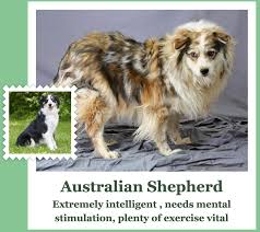 australian shepherd eskimo spitz mix link fluff microsoft u0027s what dog net tells you what kind of dog