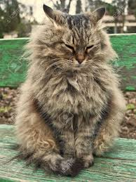 very fluffy cat sits on a bench stock photo picture and royalty