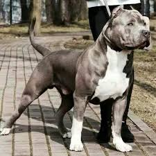 american pit bull terrier history very strong american pit bull terrier dog detail information