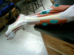 Pgcc Anatomy And Physiology Lab Practical Anatomy Skeletal System Study Guide Excellent Lab Practical Human