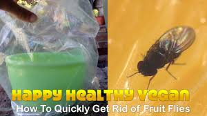 how to quickly get rid of fruit flies no kill youtube