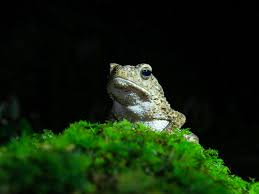 frogs of mount kinabalu explore more