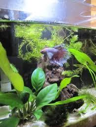 Aquascape Freshwater Aquarium Beautiful Betta Tank Betta Siamese Fighting Fish Pinterest