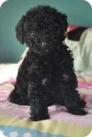 Seeking Teacup Webster Mn Poodle Or Tea Cup Meet Fiona A For Adoption