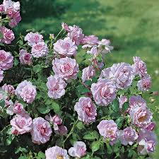 Fragrant Rose Plants Fragrantlavender Simplicity Hedge Rose