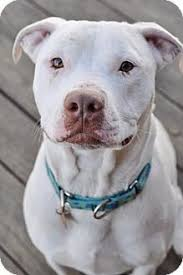 american pitbull terrier natural ears https youtu be tcmtqjnhh7g american staffordshire terrier