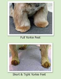 308 best cute yorkies images on pinterest dog stuff your dog