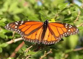 wanderer butterfly danaus plexippus plexippus