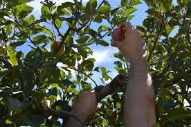 apple picking in julian mauve u0026 mountain