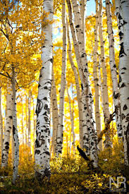848 best frames trees images on pinterest landscapes painting aspen glow by nathan rist on 500px