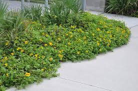 non native plants in florida creeping and clumping ground covers for south florida gardens and