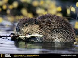 beaver picture beaver desktop wallpaper free wallpapers